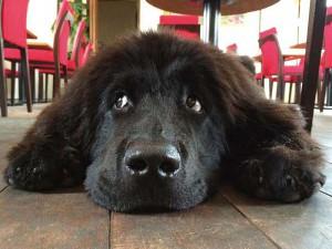 体は大きいけど、 心優しい看板犬 at 恩 the Beach